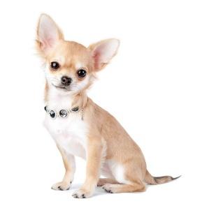 30.-Chihuahua