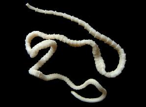 lintworm